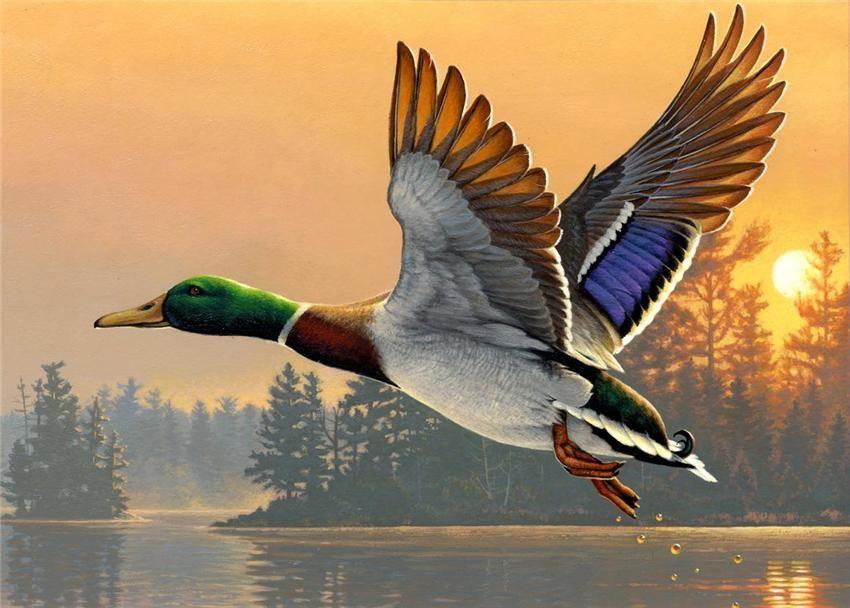 Flying duck France
